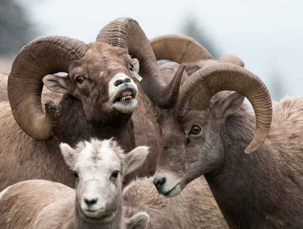 Big Horn Sheep_Robert Crowe