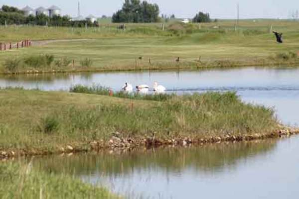 Claresholm Golf Course pelicans