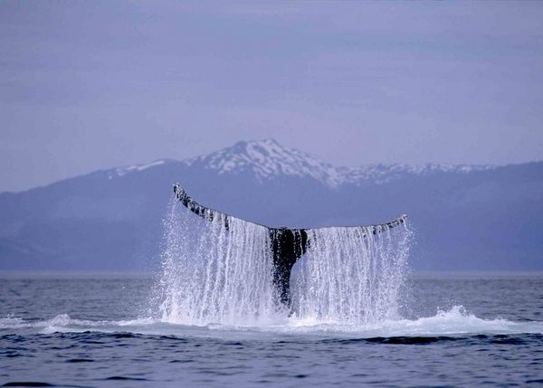 Icy Strait Point Hoonah Whale Watching
