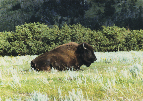 Alberta Travel Bison