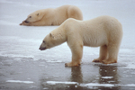 Deadhorse Prudhoe Bay Alaska Polar Bears