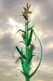 Taber Alberta Corn Sculpture