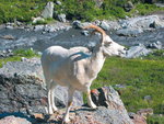 Denali National Park Alaska Mountain Goat