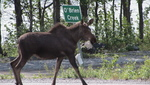 Moose Down Chicken Alaska