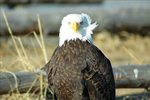 Petersburg Alaska Bald Eagle
