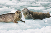 Wrangell Alaska Harbor Seals